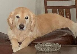 Golden puppy Mandy on sofa