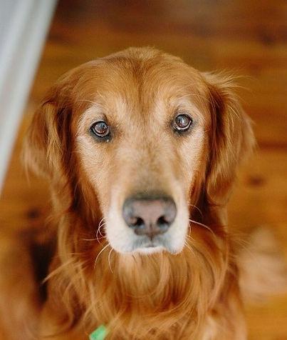Beautiful headshot of Parker, the Golden Retriever