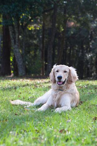 Golden Retriever in a park
