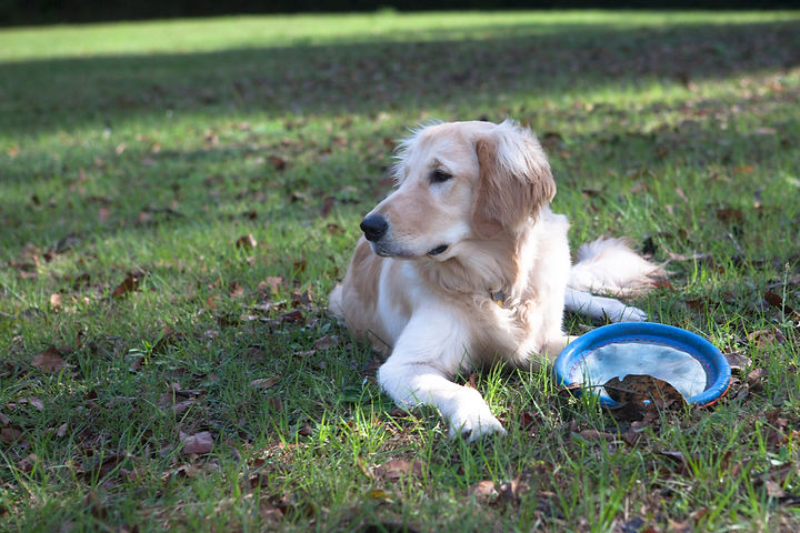 Golden Retriever resting with frisbee