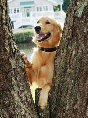 Golden Retriever standing at a tree