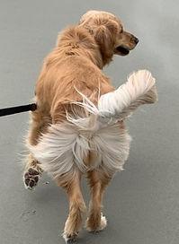 Golden girl on leash fanning her tail