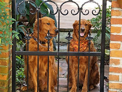 Two Goldens at a wrought iron fence