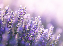 Young Living Benefits_Lavender 2