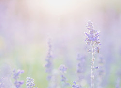 Young Living Benefits_Lavender 1