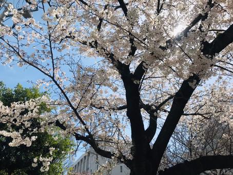 お花見シーズン到来♪桜は日本人の心 桜から学ぶこと