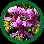 Pelargonium.png