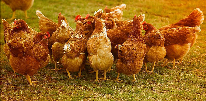 chickens-poultry-running-happy-hens.jpg