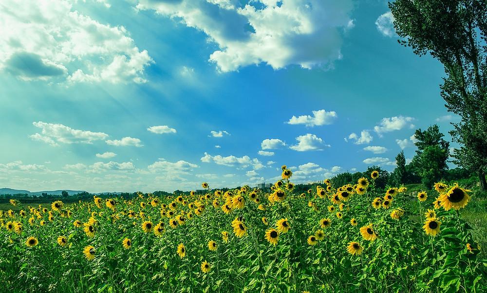 sunflowers facing the sun