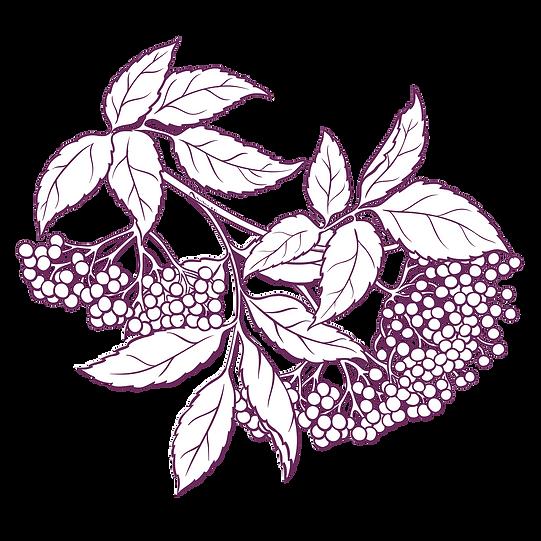 elderberry_edited.png