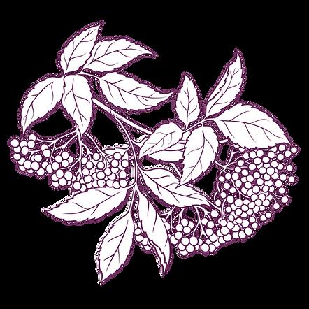 elderberry, organic elderberry