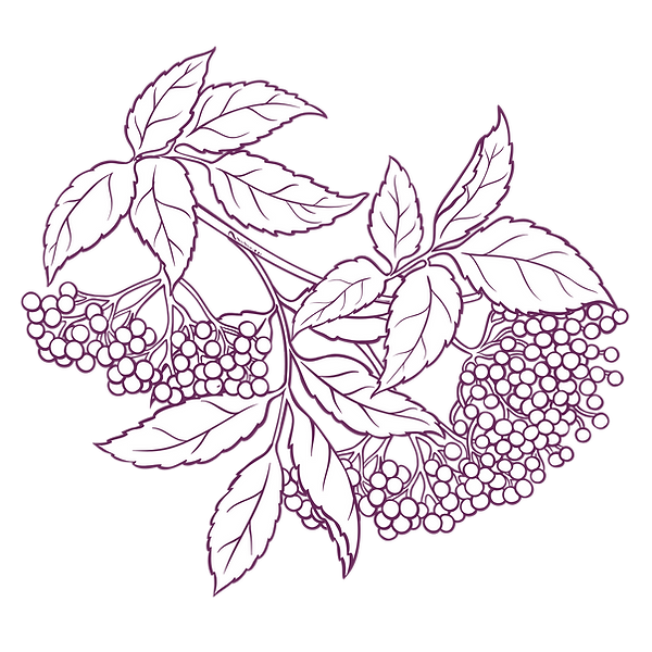 elderberry.png