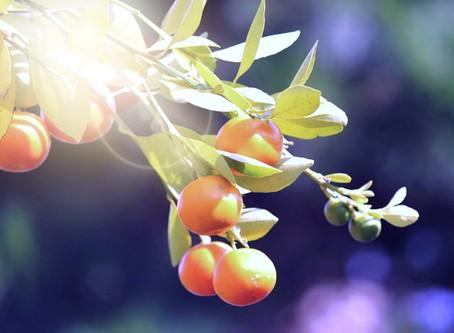 香の木の実
