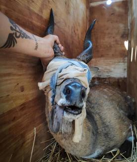 Bushbuck after being captured for translocation