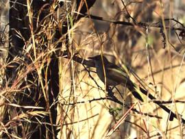 Arrow Marked Babbler