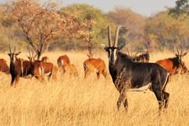 Sable - Breeding Herd