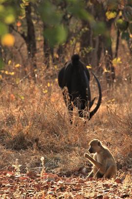 Yellow baboon and sable