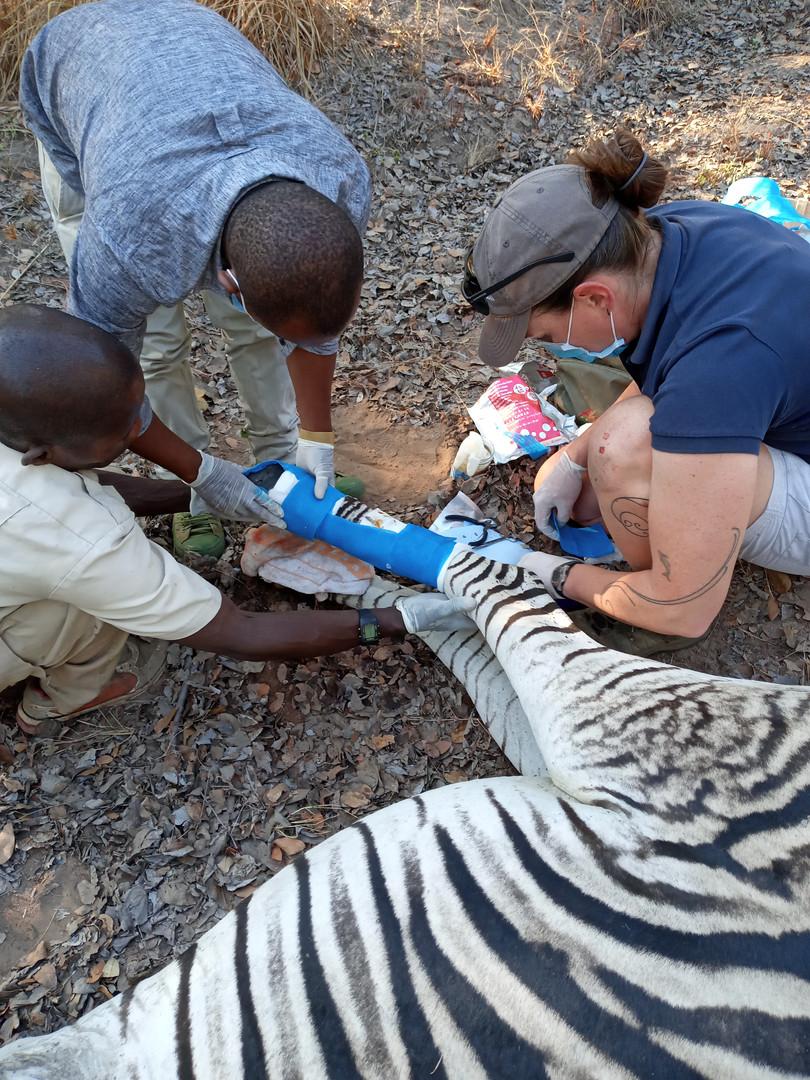 Dr Amanda Salb of WERU assisting an injured zebra