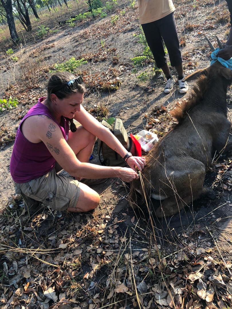 Dr Amanda Salb assisting a young sable