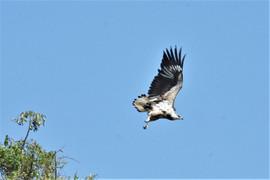 Juvenile Martial Eagle