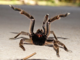 African Baboon Spider Male