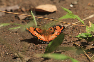 Darker Commodore Butterfly