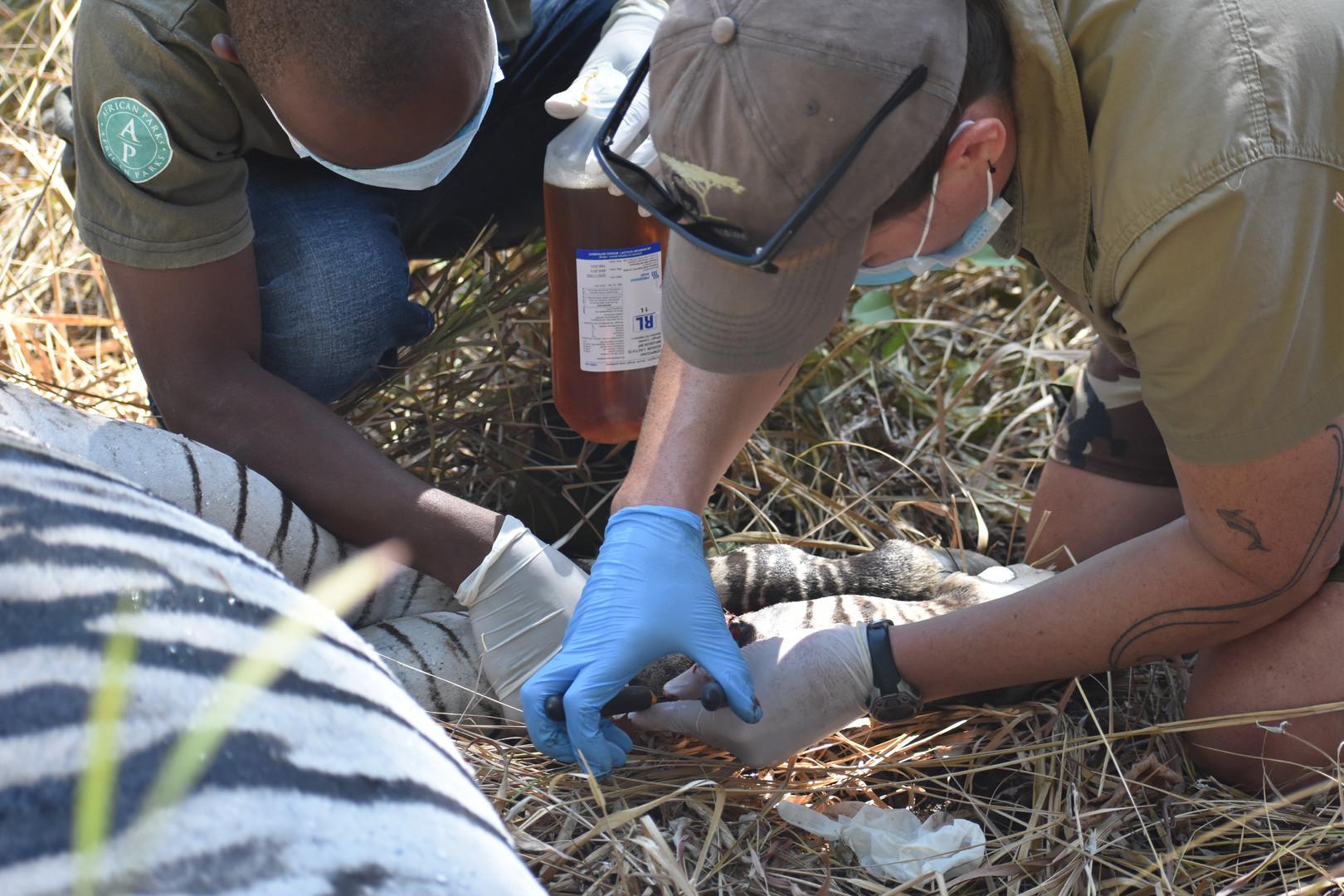 Dr Amanda Salb and Laston Chimaliro removing a snare from a zebra