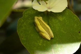 Brown Banana/Spiny Reed Frog