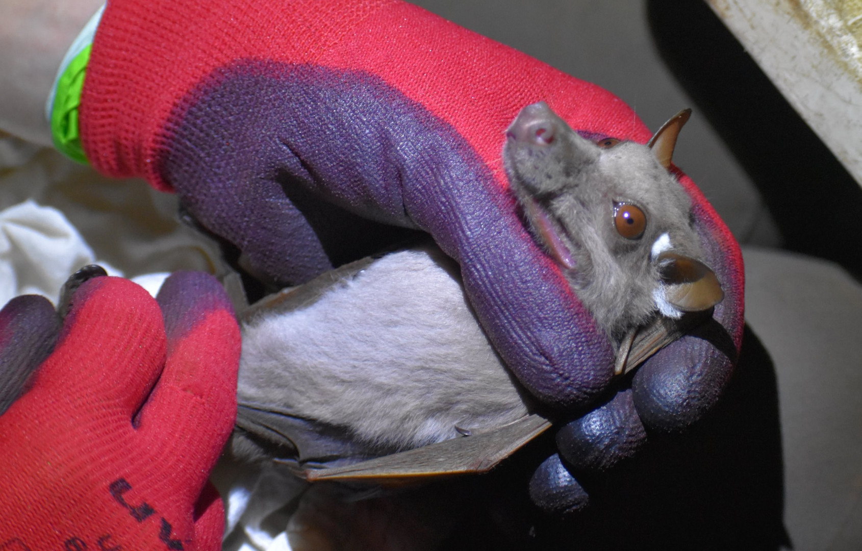 CRA's African Bat Conservation team with a fruit bat