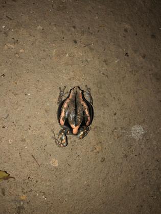 Banded Rubber Frog