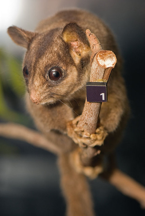 Exterminating an Icon: What will happen to the Leadbeater's Possum?
