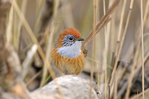 What can we learn from the Mallee Emu-wren's story?