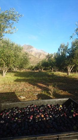 Galenia, Olive Farms