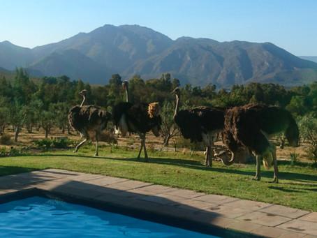 Not so wild.....Ostriches