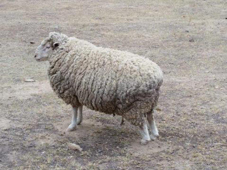 The story of Rosalie the sheep