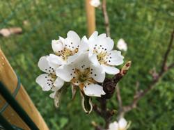 Petite fleur de poirier