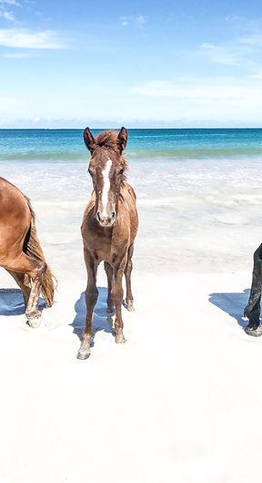 Horses in Fiji