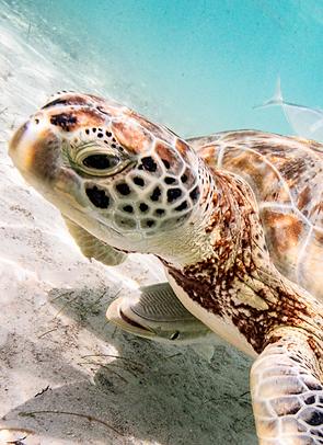 Sea Turtle by France and Jesse - Exumas, Bahamas