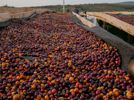 Peru - Cenfrocafe drying cherries.png