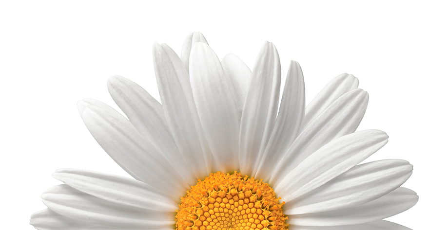 Daisy-crop2.png