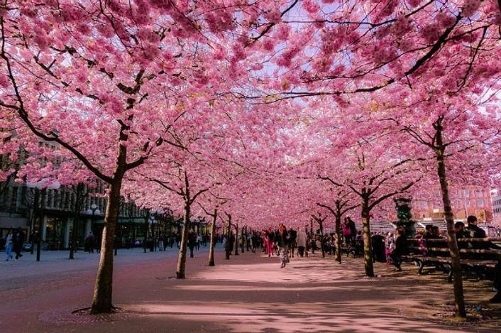 mudas-de-cerejeira-japonesa-D_NQ_NP_7932