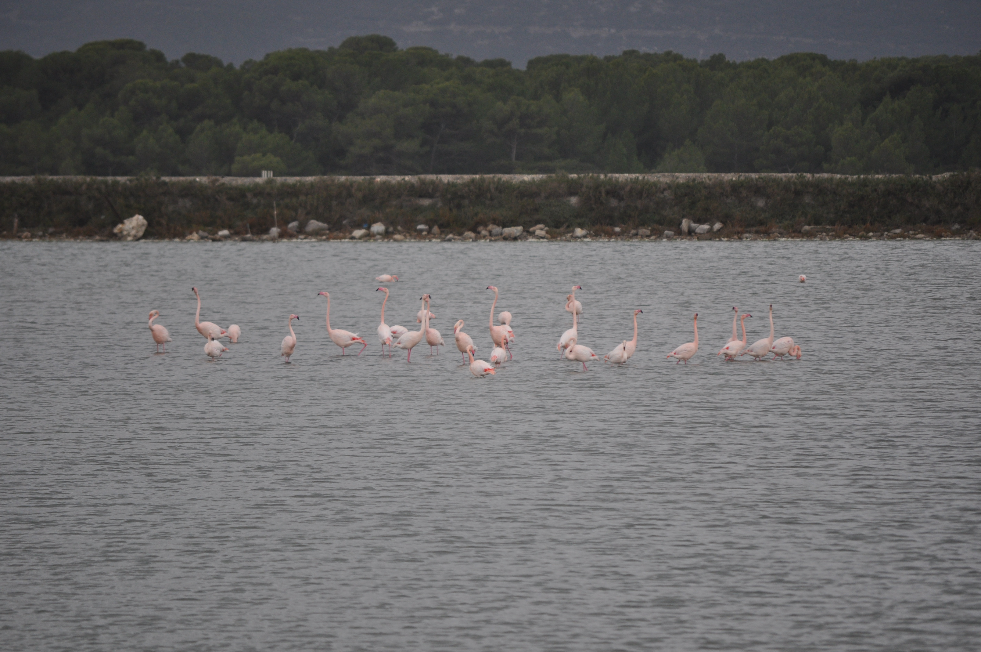 Les flamants à Frontignan