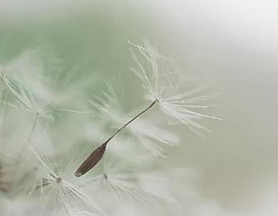 Dandelion Parachute Seed.webp