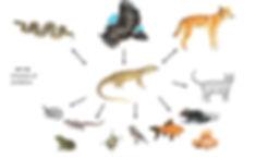 A goanna's ecological web