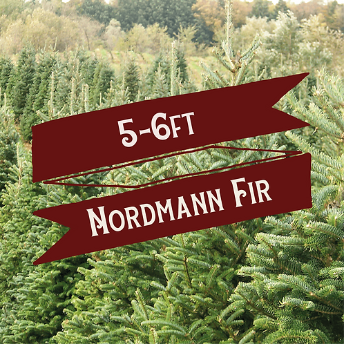 5-6ft Nordmann Fir Christmas Tree