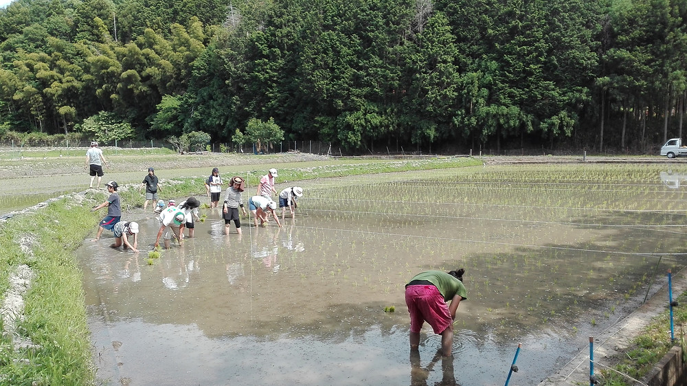 100% organic Rice planting experience , June 17