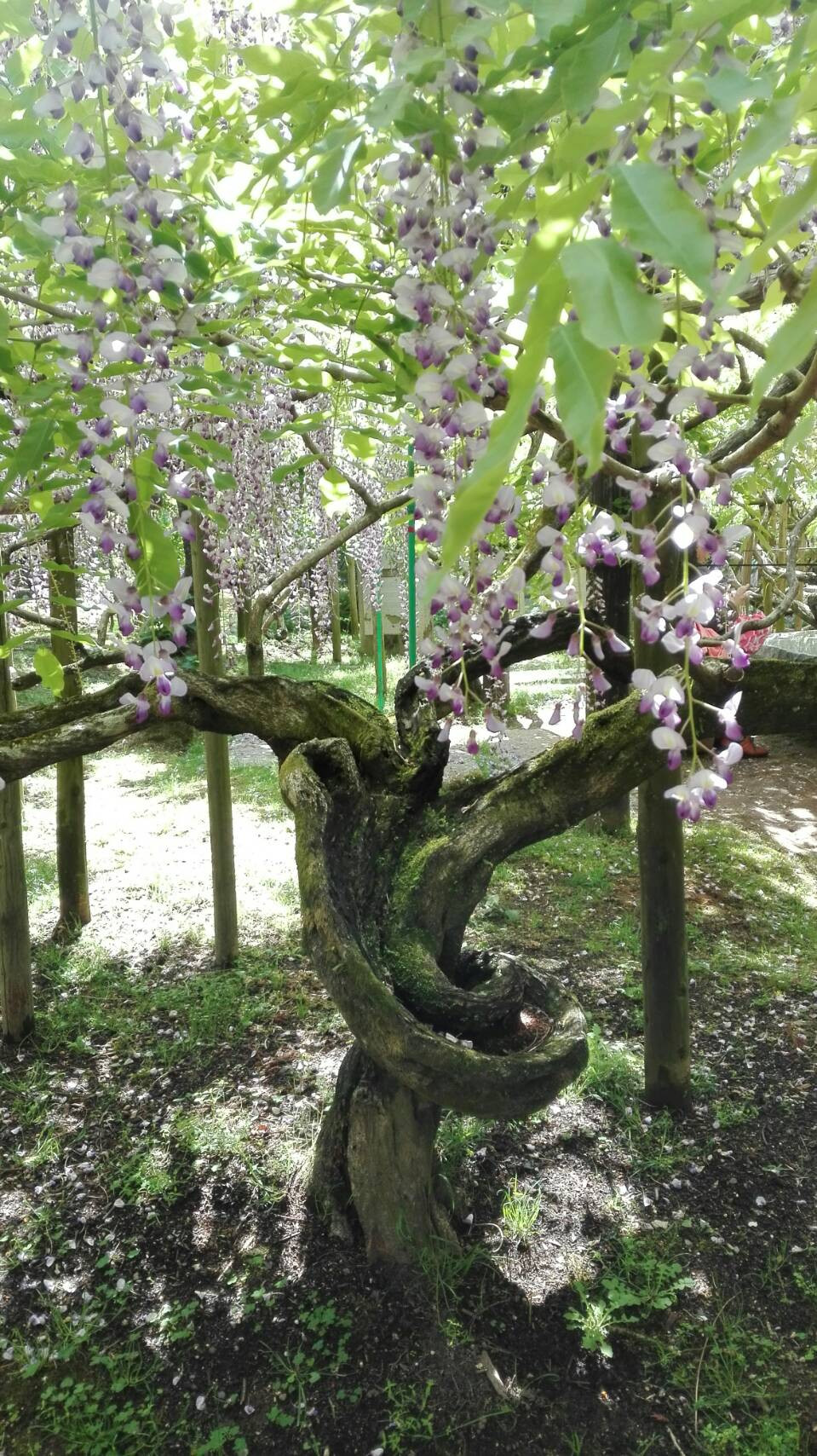 wisteria in Manyo botanical garen