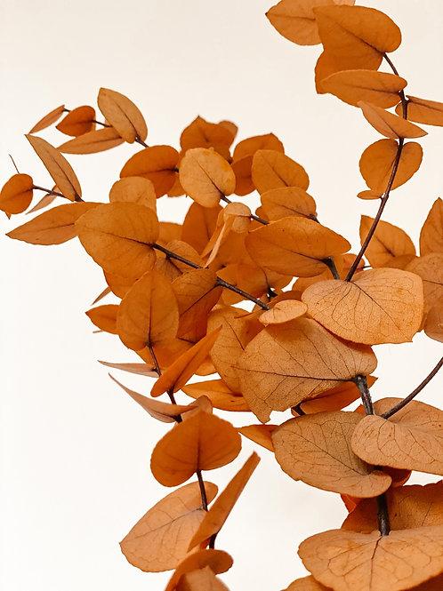 Eukalyptus Cinerea | Pumpkin
