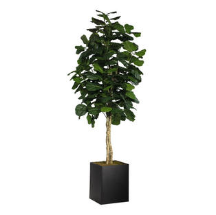 Fiddle Leaf Tree 8'