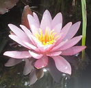 Lotus Flower Kamla Rana Hey